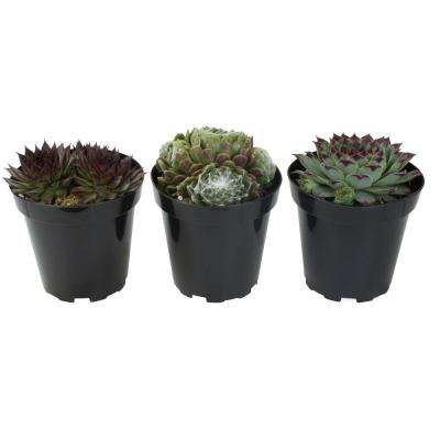 3.5 in. Cold Hardy Sempervivum and Sedum Succulents (3-Pack)