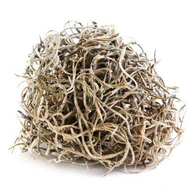 Shop Succulents Spanish Moss, Natural