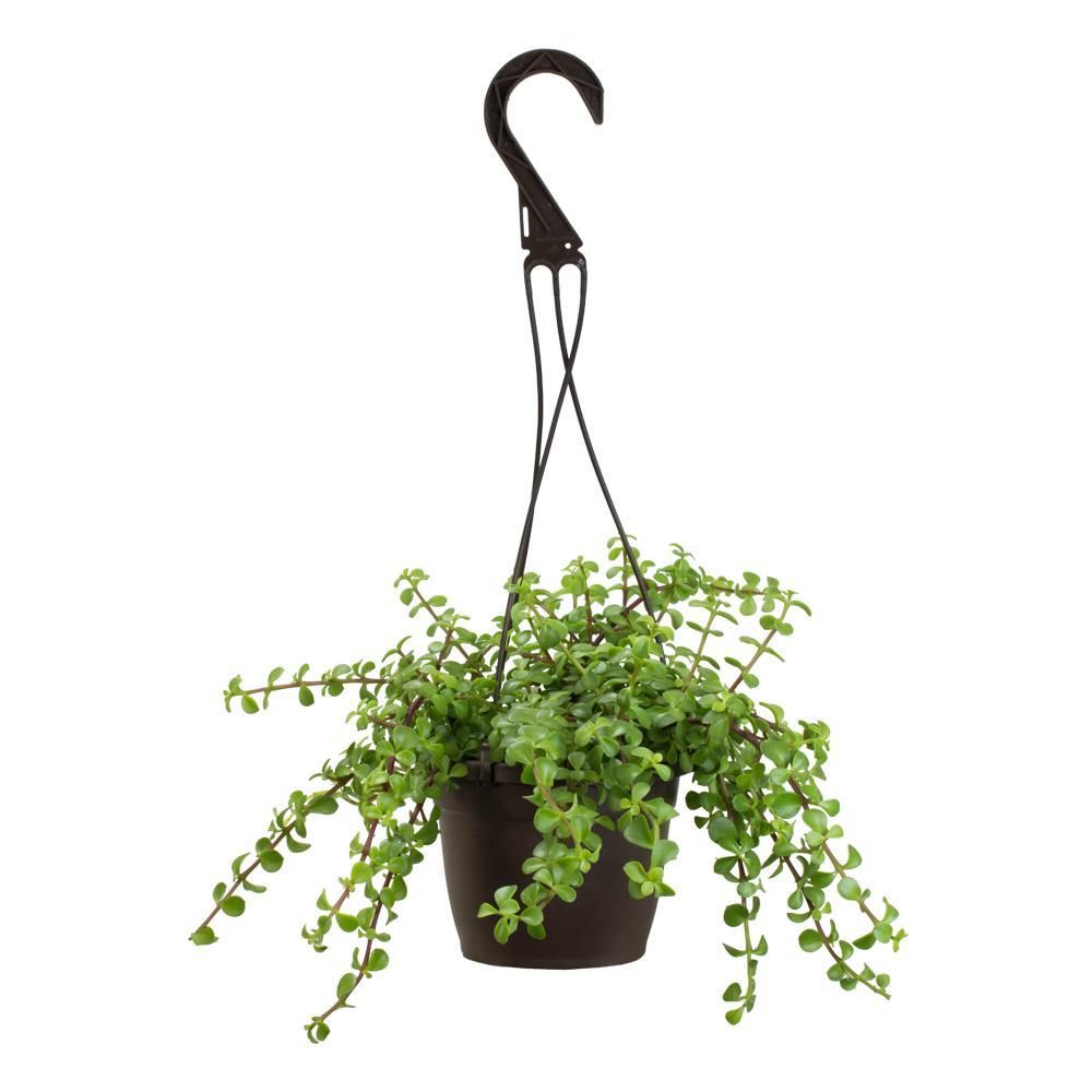 6 in. Portulacaria Afra Prostrata Hanging Basket