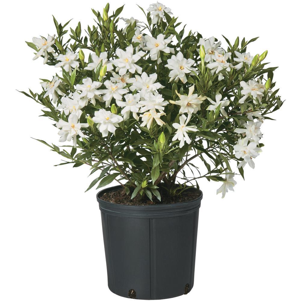2.5 Qt. Gardenia Frostproof Shrub with White Flowers
