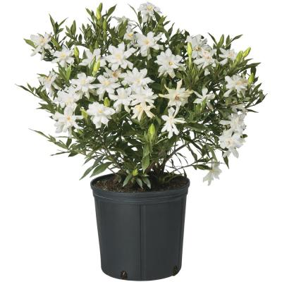 2.5 Qt. Gardenia Frostproof Shrub with White Flowers