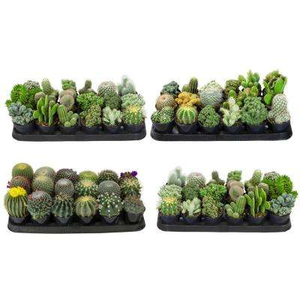 9 cm Cactus Plant Collection (72-Pack)