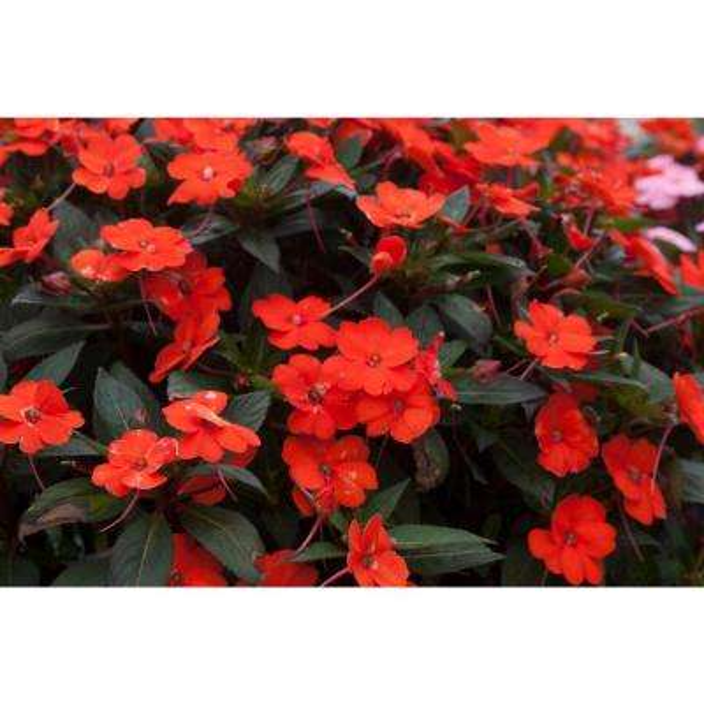 Orange Full Shade Annuals Plants Garden Flowers The Home