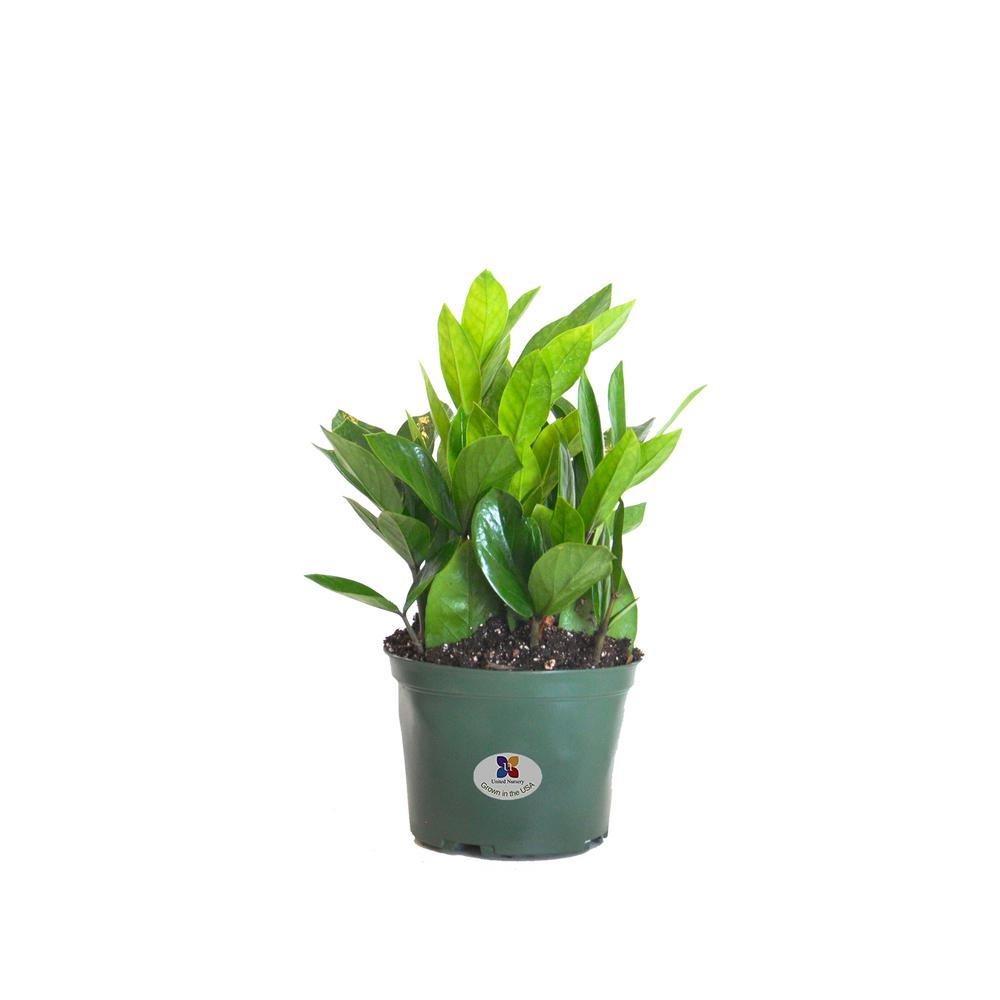 ZZ Plant in 6 in. Grower Pot on home depot gifts, home depot balloons, home depot food, home depot shrubs, home depot birthday, home depot wedding, home depot orchids, home depot fountains, home depot flowers, home depot herbs,