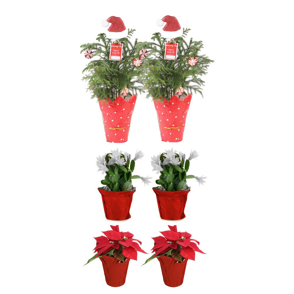 Costa Farms 2 in. to 6 in. Norfolk Island Pine, 2 in. to 4 in. Christmas Cactus and Poinsettia Live Holiday Decor Bundle (6-Pack)