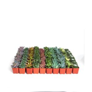 undefined-2 in. Assorted Succulent Collection (100-Pack)