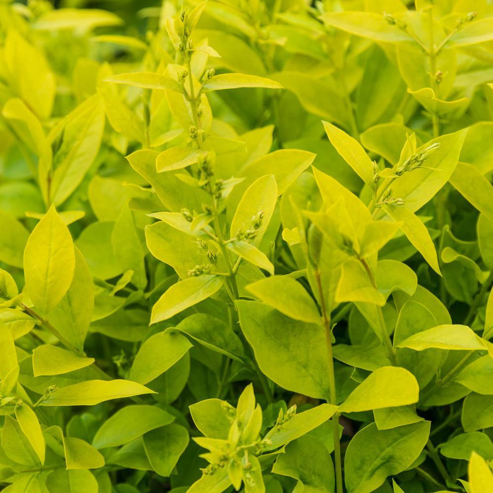 2.5 qt. Golden Vicary Privet (Ligustrum) Live Deciduous Plant White Flowers with Yellow Foliage