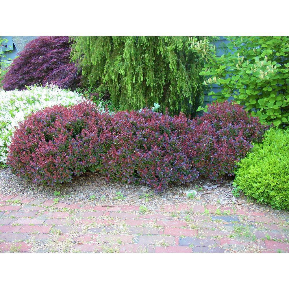 1 Gal. Crimson Pygmy Dwarf Japanese Barberry Shrub Rich Purple Foliage, Compact Growth, Beautiful Red Berries