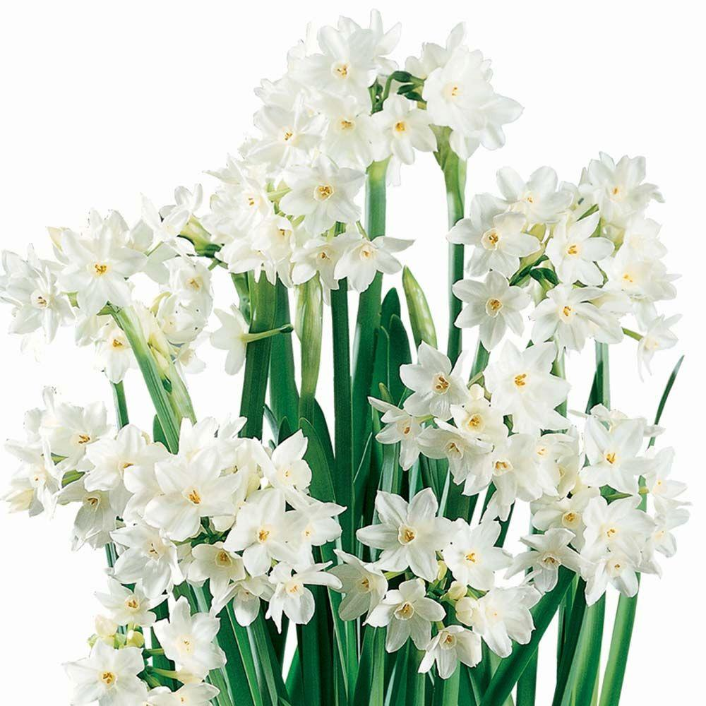 unbranded Paperwhite Narcissus Ziva Dormant Bulbs (24-Pack)
