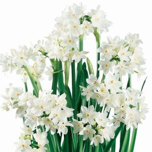 Paperwhite Narcissus Ziva Dormant Bulbs (24-Pack)