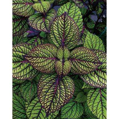 Fishnet Stockings Coleus (Solenostemon) Live Plant, Green and Burgundy Variegated Foliage, 4.25 in. Grande, 4-pack