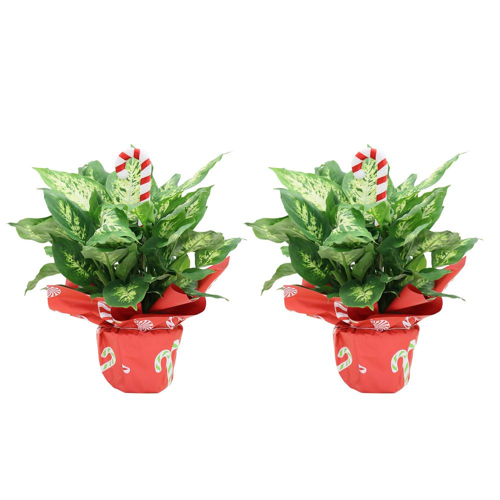 COSTAFARMS Costa Farms Holiday Dieffenbachia in 6 in. Grower Pot with Christmas Wrap and Pick (2-Pack)