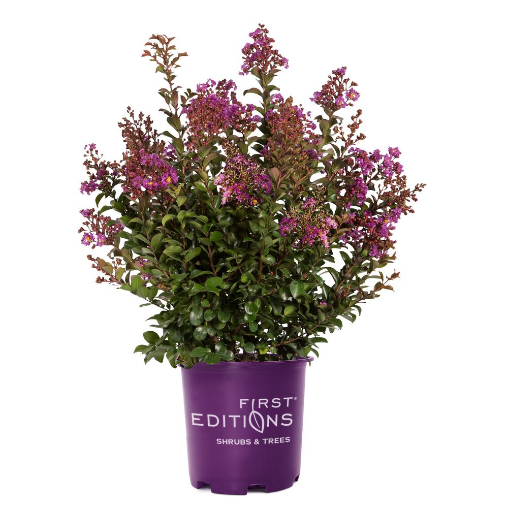 3 Gal. Purple Magic Crape Myrtle Tree with Dark Purple Blooms