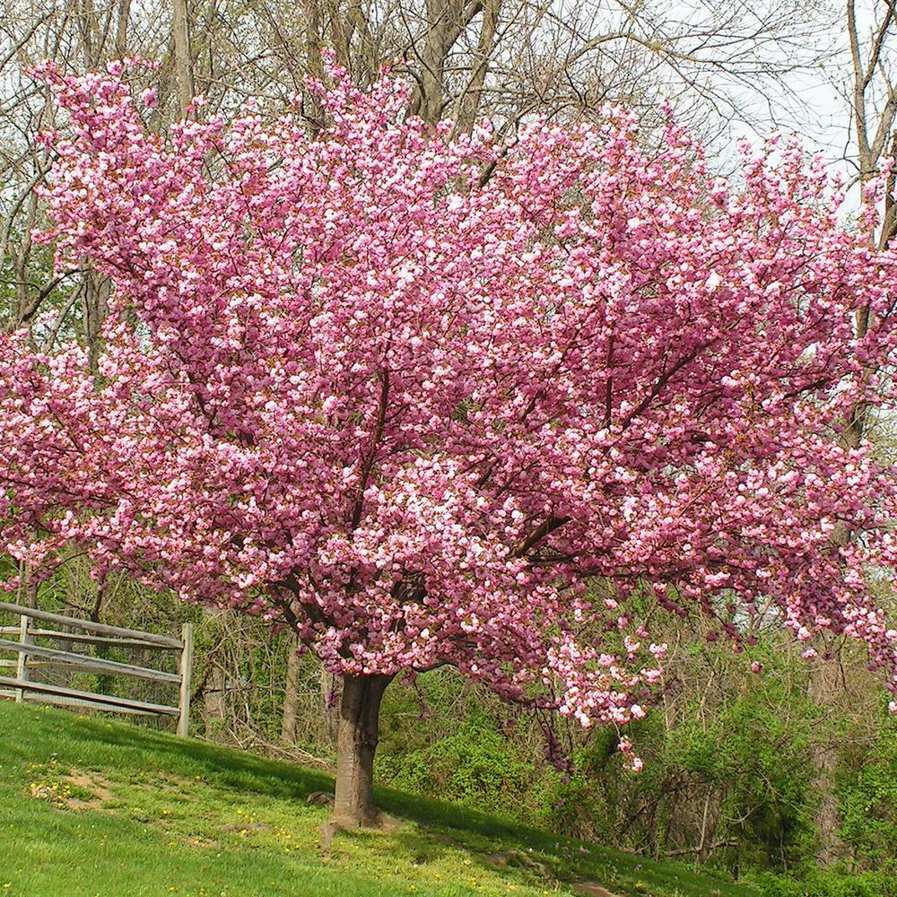 Van Zyverden Pink Ornamental Cherry Kwanzan Tree 83581 The Home