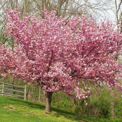 Pink Ornamental Cherry Kwanzan Tree