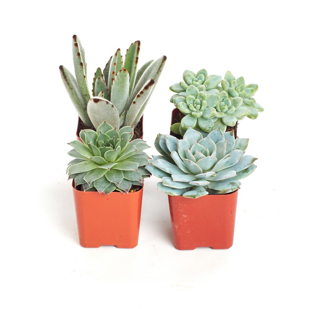 Home Botanicals 2 in. Blue/Green Collection Succulent (Collection of 4)