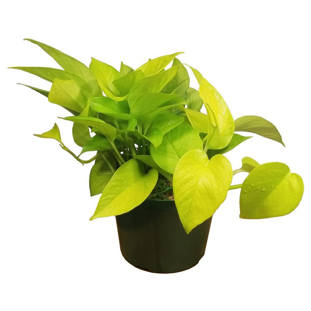 Neon Pothos Plant in 6 in. Grower Pot
