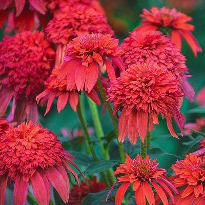 Mandarin Double Scoop Coneflower (Echinacea) Live Potted Perennial Plant with 2 in. Pot