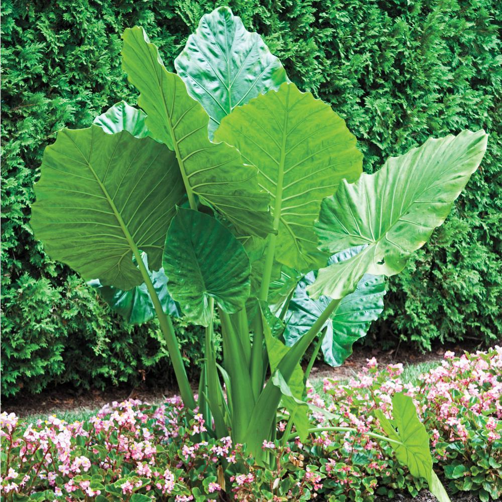 Green Upright Elephant Ear (Alocasia) Bulb Foliage (1-Pack)