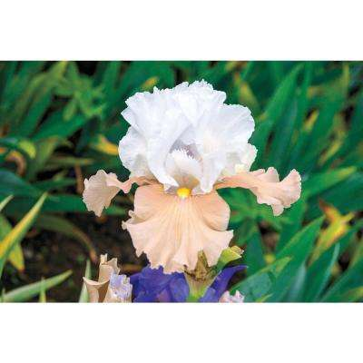 Champagne Elegance Reblooming Iris Live Bareoot Plant White and Peach Colored Flowers