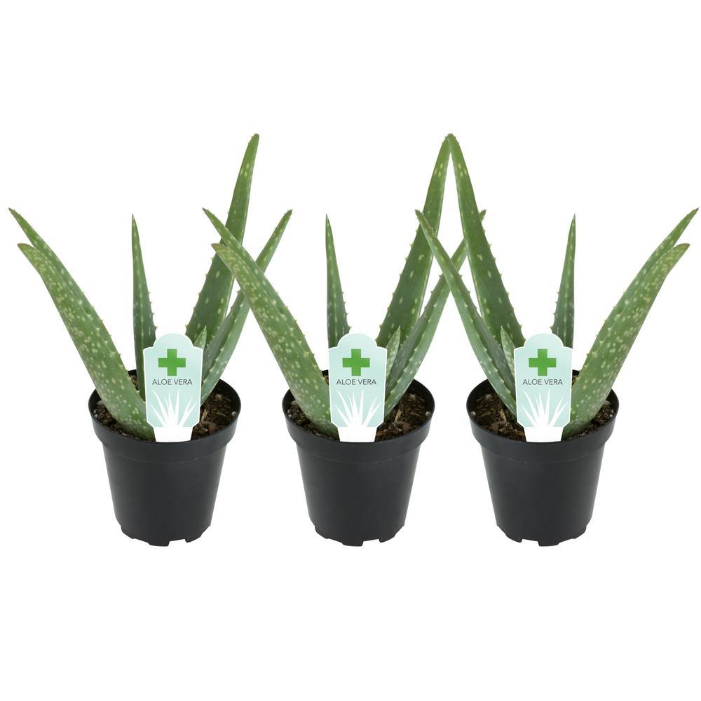 3.5 in. Aloe Vera Plant (3-Pack)