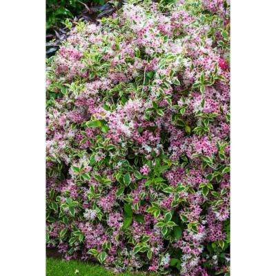 2.5 qt. Variegated Weigela, Live Deciduous Plant, Pink Flowers and Green/White Variegated Foliage (1-Pack)
