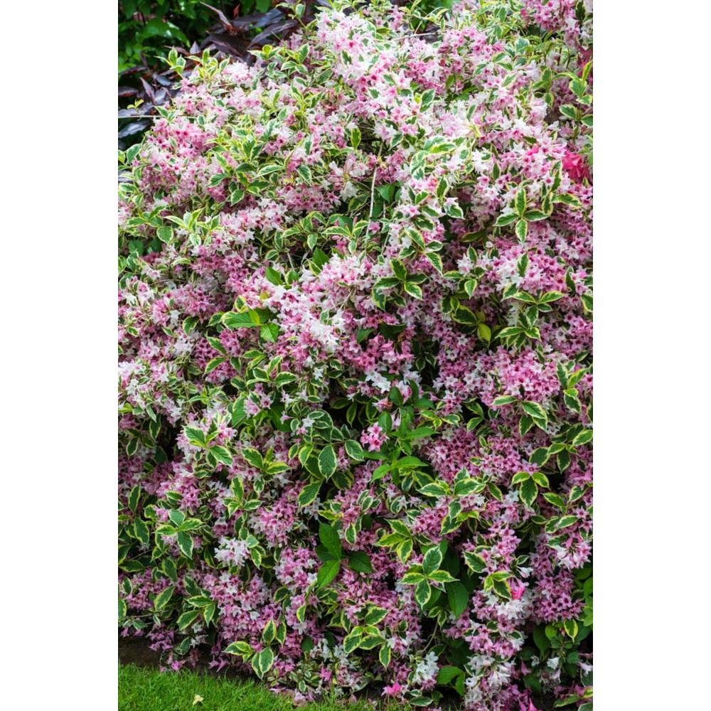 SpringHillNurseries Spring Hill Nurseries 2.5 qt. Variegated Weigela, Live Deciduous Plant, Pink Flowers and Green/White Variegated Foliage (1-Pack)
