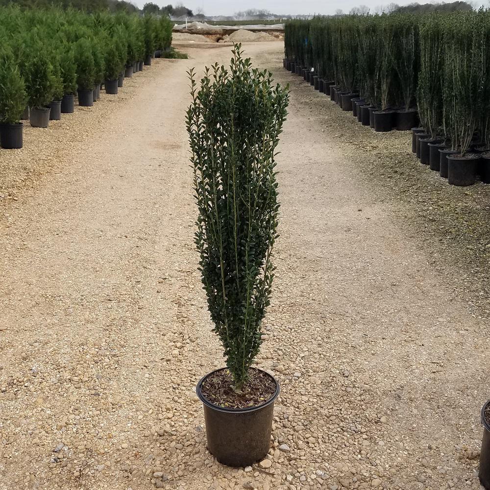 9.25 in. Pot - Sky Pencil Japanese Holly(Ilex), Live Plant, Upright Growth Habit