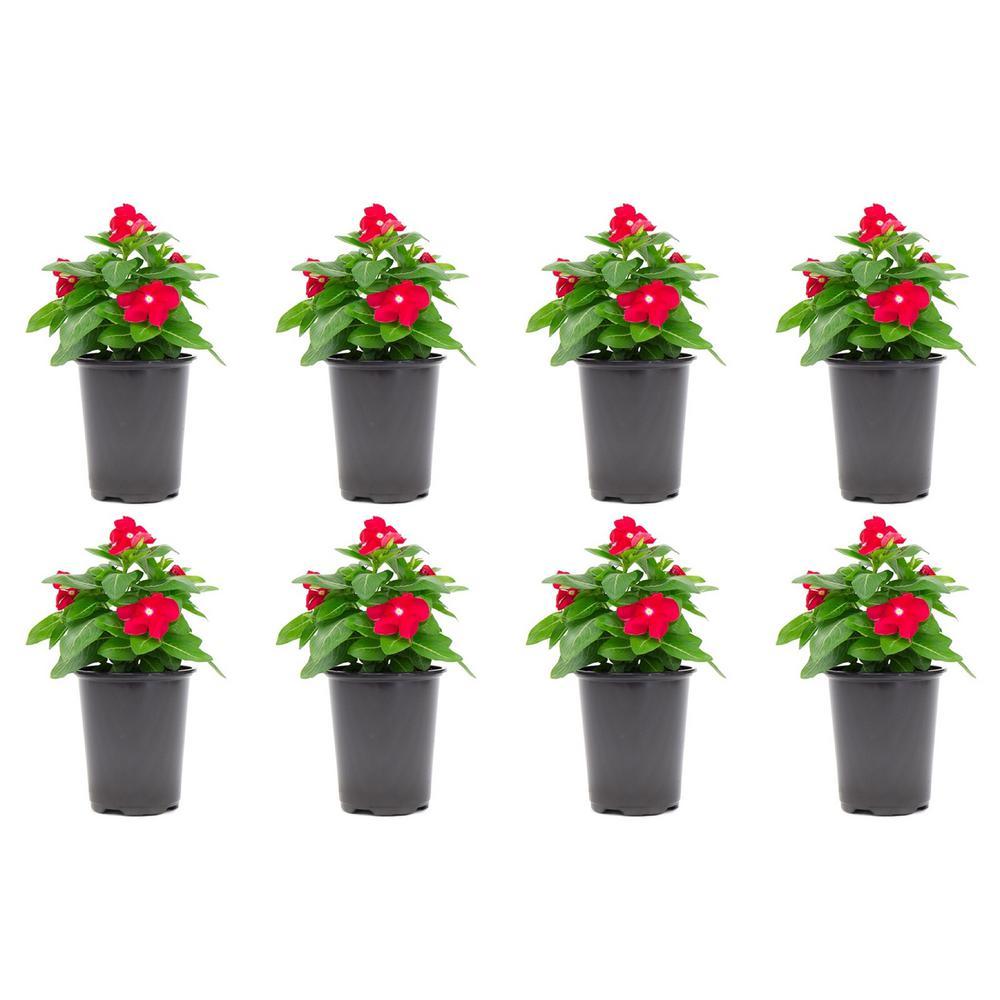 Vinca Cora Periwinkle Plant Red Flowers in 4.5 in. Grower's Pot (8-Plants)