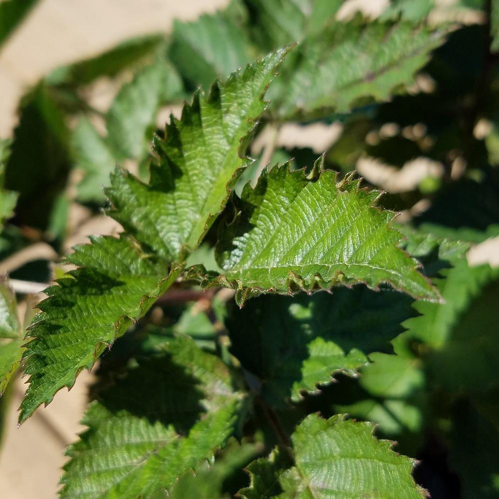 2.5 Qt. Osage Thornless Blackberry, Live Fruit-Bearing Shrub