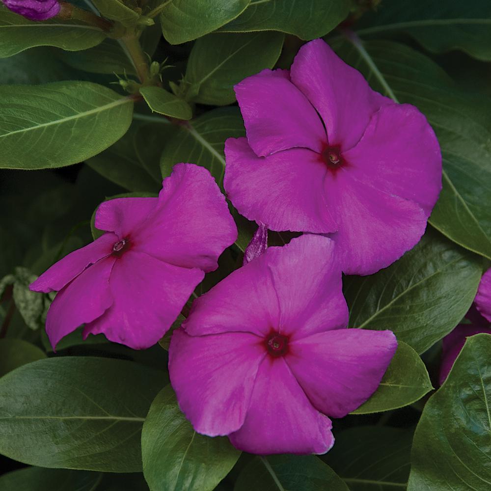 1.38-Pint Purple Periwinkle Plant