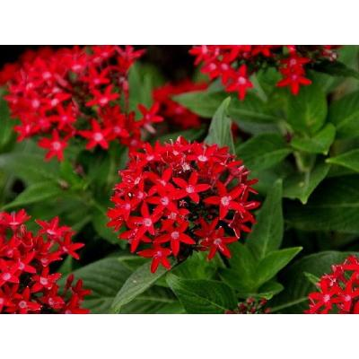 1.38 Pt. Penta Plant Red Flowers in 4.5 In. Grower's Pot (8-Plants)