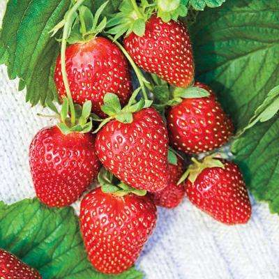 Mara Des Bois Everbearing Strawberry Bareroot Plant (10-Pack)