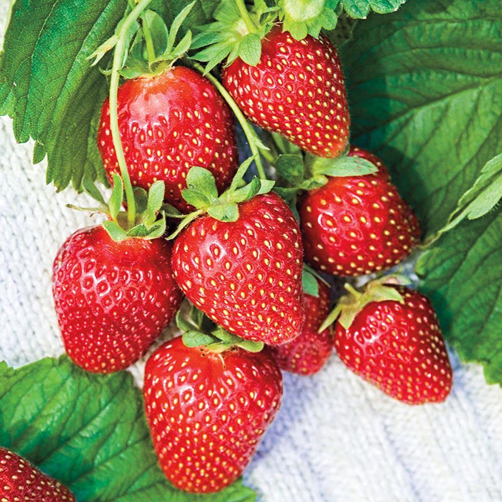Gurney S Mara Des Bois Everbearing Strawberry Bareroot Plant 10 Pack
