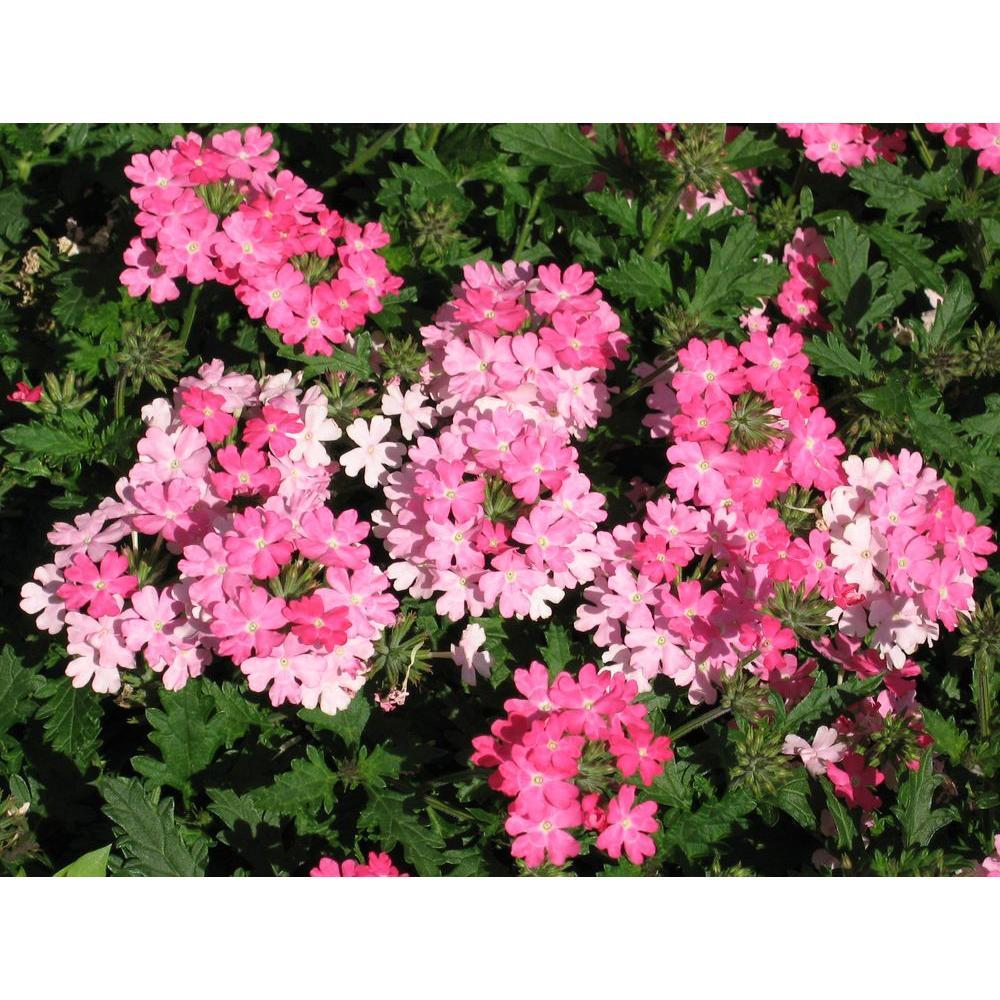 Proven winners lanai bright pink verbena live plant pink flowers proven winners lanai bright pink verbena live plant pink flowers 425 in mightylinksfo Choice Image