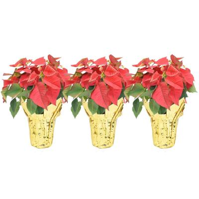 1 qt. Fresh Live Red Poinsettia Flowers with Gold Pot Cover (3-Pack)