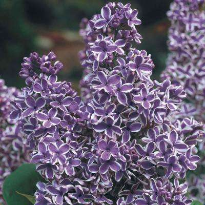 2 in. Pot Sensation Lilac (Syringa), Live Deciduous Plant with White and Purple Flowering Shrub (1-Pack)