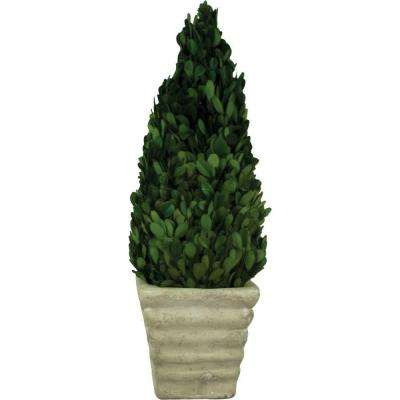 4.75 in. W x 15 in. H Preserved Boxwood Cone in White Terracotta Pot