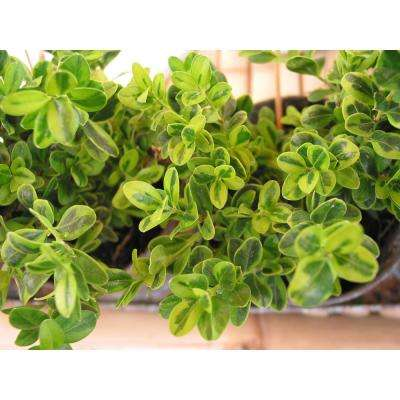 1 Gal. Goldentip Boxwood Shrub Goldensplashed Foliage Further Brightens a Colorful Evergreen Classic