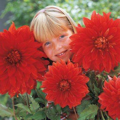 Red Flowers The Big Wow Dinner Plate Dahlia Bulbs (5-Pack)