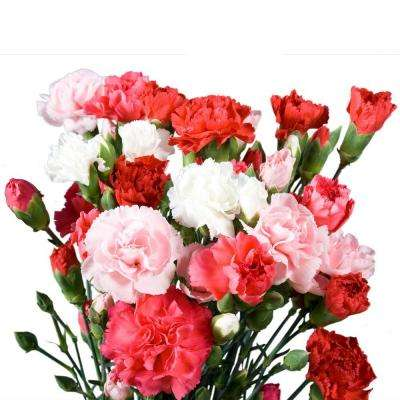 Fresh Valentine's Day Color Mini Carnations (160 Stems - 640 Blooms)