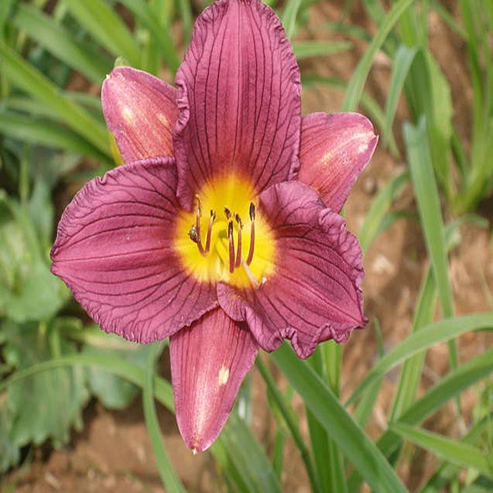 OnlinePlantCenter 1 gal. Purple d'Oro Daylily Plant