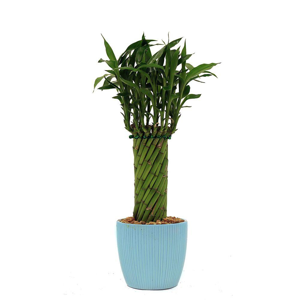 Lucky Bamboo Cylinder Braid In 4 In. Ribbed Limpet Shell Blue Pot