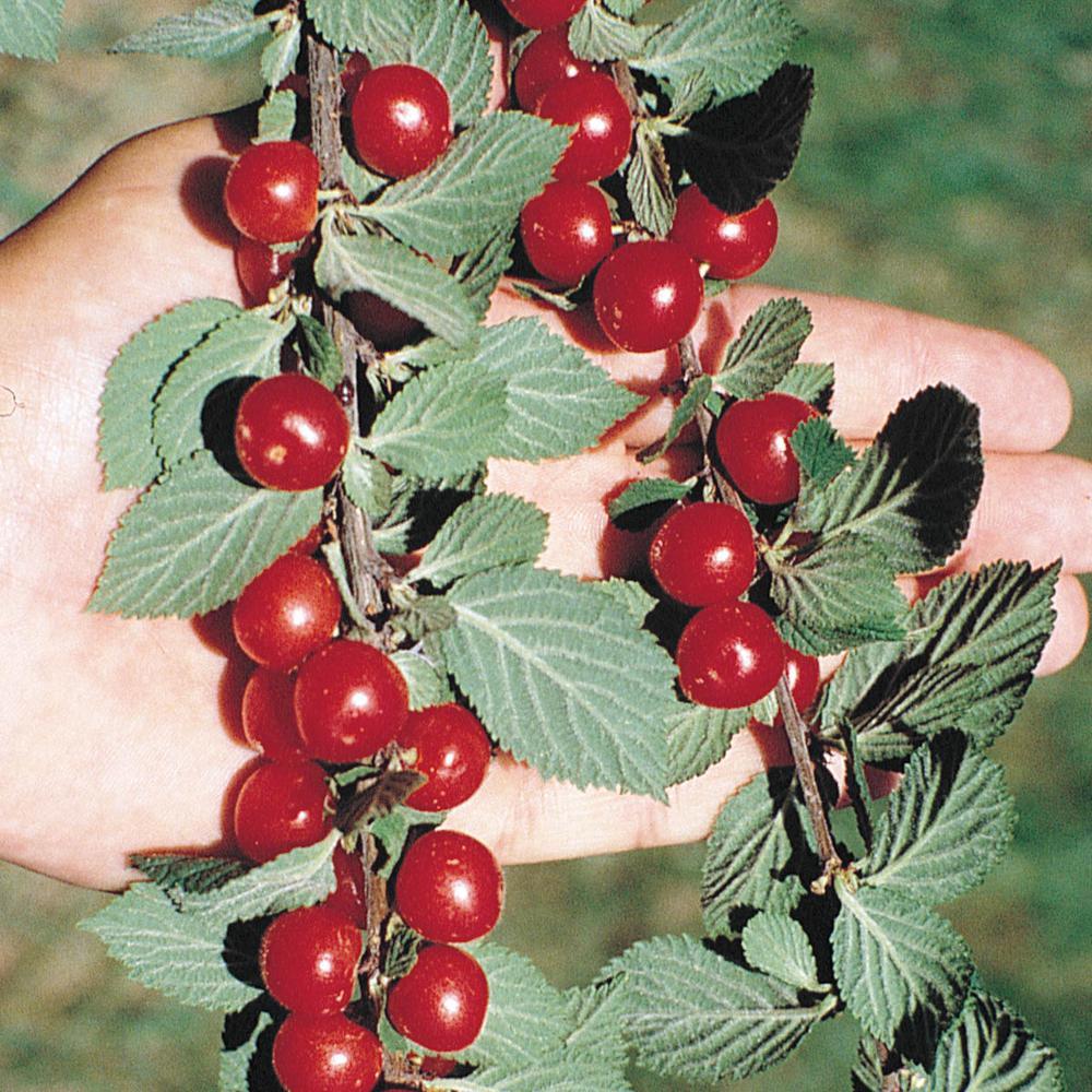 Nanking Bush Cherry (Prunus) Live Bareroot Fruiting Trees (2-Pack)