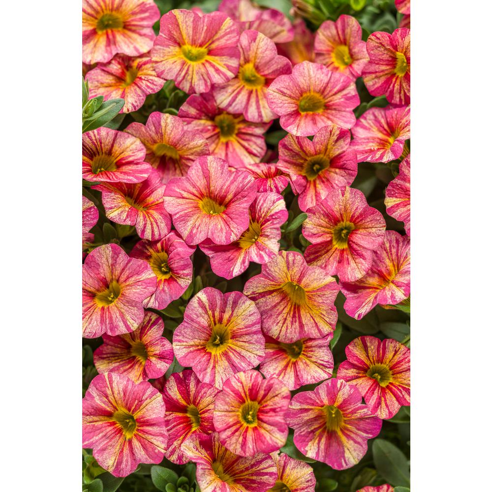 Proven winners superbells tropical sunrise calibrachoa live plant proven winners superbells tropical sunrise calibrachoa live plant pink yellow and mightylinksfo