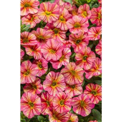 4-Pack, 4.25 in. Grande Superbells Tropical Sunrise (Calibrachoa) Live Plant, Pink, Yellow, and Red-Streaked Flowers