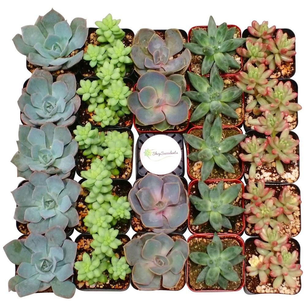 2 in. Premium Pastel Succulent (Collection of 128)