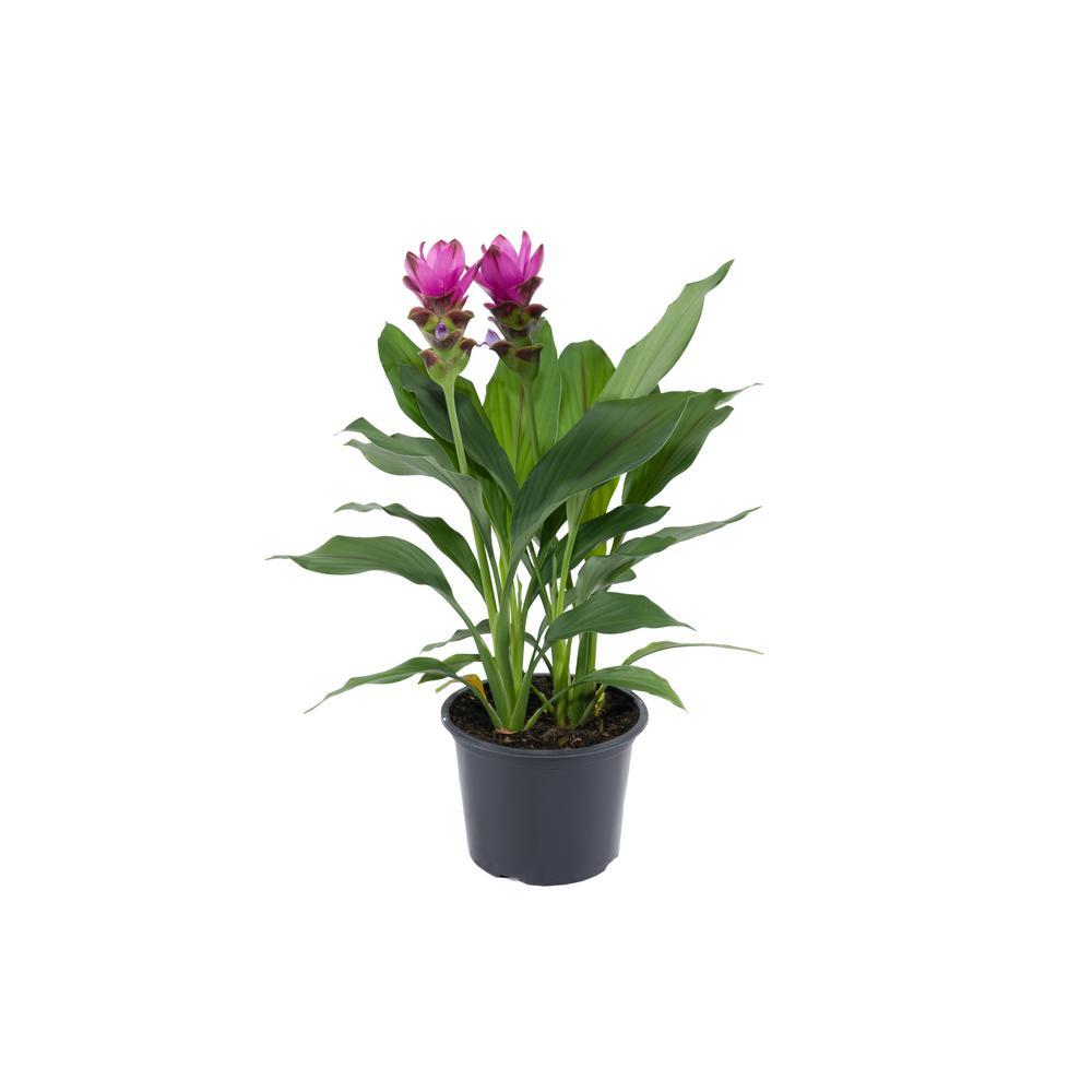 Costa Farms 3 Qt Curcuma Outdoor Plant In Grower S Pot Color Grower S Choice 3qtcurcuma The Home Depot
