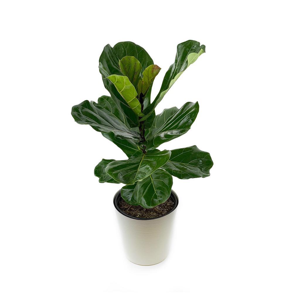 Pure Beauty Farms Ficus Lyrata Plant in 9.25 In. Designer Pot