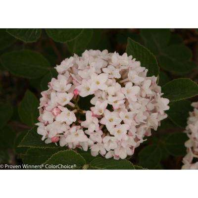 4.5 in. qt. Spice Baby Korean Spice Viburnum (Carlesii) White Flowers